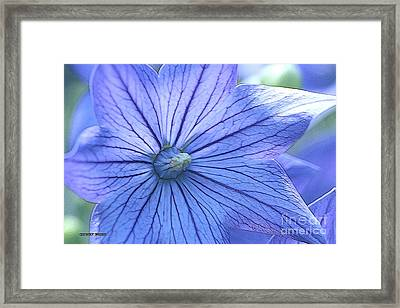 Balloon Flower Enhanced Framed Print by Corey Ford