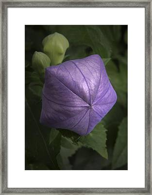 Balloon Flower Framed Print by Nancy Griswold