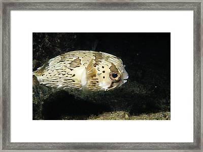 Balloonfish Profile Puffer Fish, Diodon Framed Print