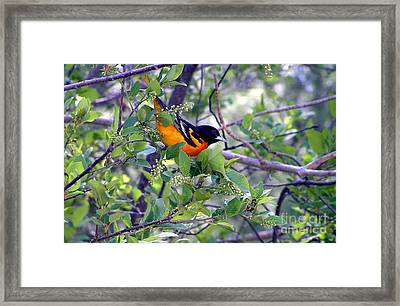 Baltimore Northern Oriole Framed Print
