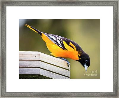 Framed Print featuring the photograph Baltimore Oriole About To Jump by Ricky L Jones
