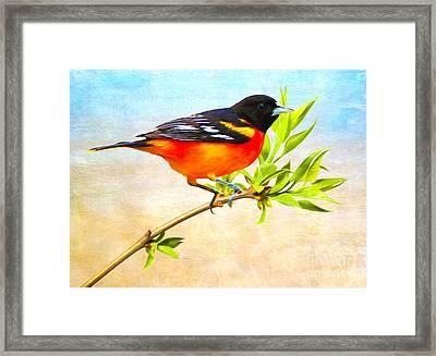 Baltimore Oriole Bird Framed Print