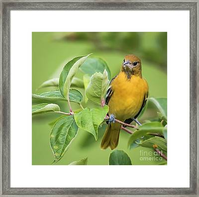 Framed Print featuring the photograph Baltimore Oriole Closeup by Ricky L Jones