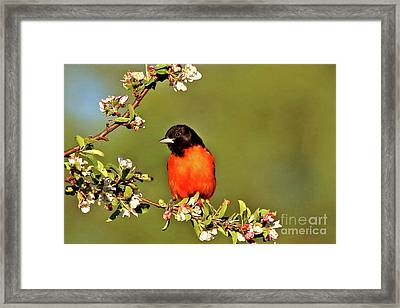 Baltimore Oriole Framed Print by James F Towne