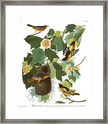 Baltimore Oriole Framed Print by MotionAge Designs