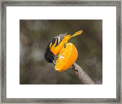 Baltimore Oriole On Orange Framed Print