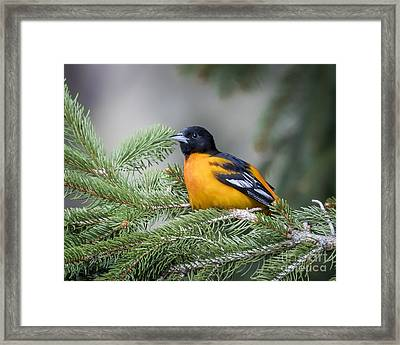 Baltimore Oriole Framed Print by Ricky L Jones