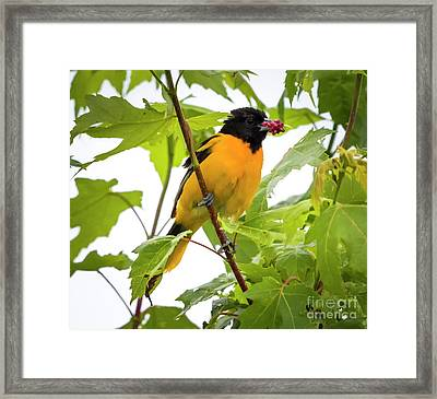 Framed Print featuring the photograph Baltimore Oriole With Raspberry  by Ricky L Jones