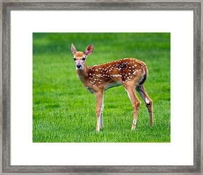 Bambi Framed Print by Timothy McIntyre