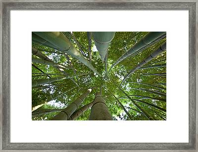 Bamboo Forest Framed Print by Tom Clabough