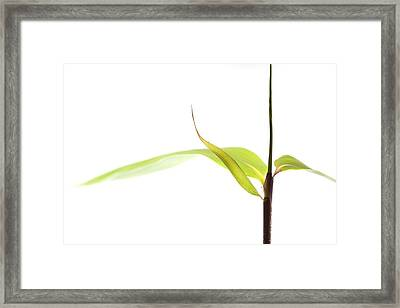 Bamboo Meditation 1 Framed Print by Carol Leigh