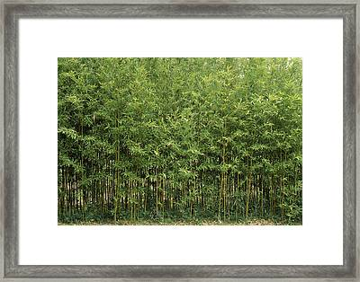 Bamboo Trees In A Forest, Fukuoka Framed Print by Panoramic Images