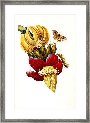 Banana And Butterfly  Framed Print