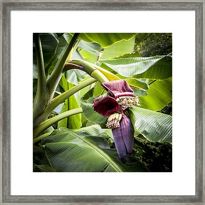 Framed Print featuring the photograph Banana Beginnings Square by Kerri Ligatich