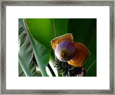 Banana Bloom Framed Print by Mindy Newman