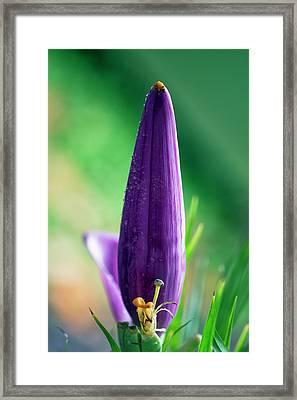 Banana Flower Framed Print by Brad Granger