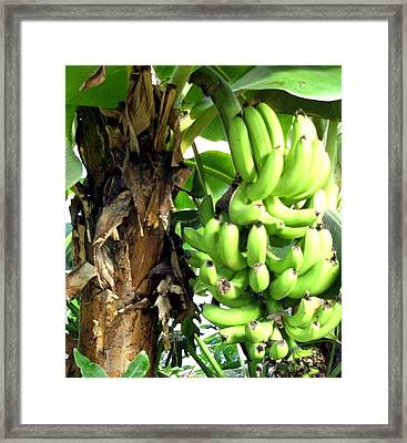 Banana Framed Print by Mindy Newman