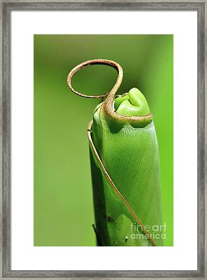 Banana Palm Frond Ready To Unfurl Framed Print