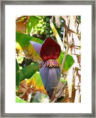 Banana Tree Framed Print by Judy  Waller