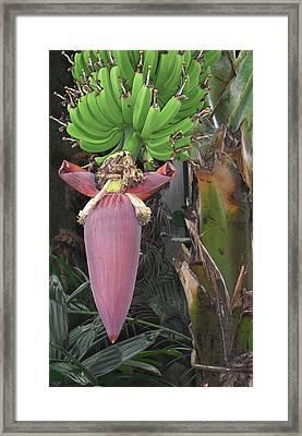 Banana Tree Pod Framed Print by Candace Shockley