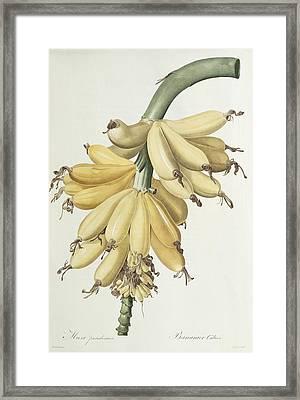 Bananas Framed Print by Pierre Joseph Redoute