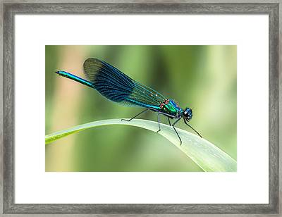 Banded Demoiselle Framed Print by Ian Hufton