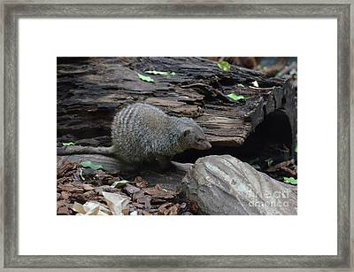 Banded Mongoose With Striping On His Back Framed Print