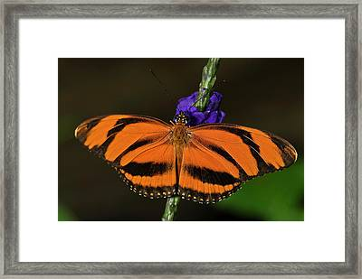 Banded Orange Butterfly Framed Print by JT Lewis