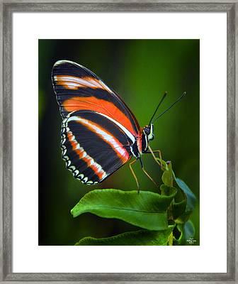 Banded Orange Longwing Butterfly Framed Print
