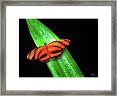 Banded Orange Longwing Framed Print