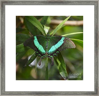 Banded Peacock Butterfly Framed Print