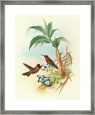 Banded Ruby Framed Print by John Gould