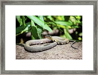 Banded Water Snake - Louisiana Framed Print