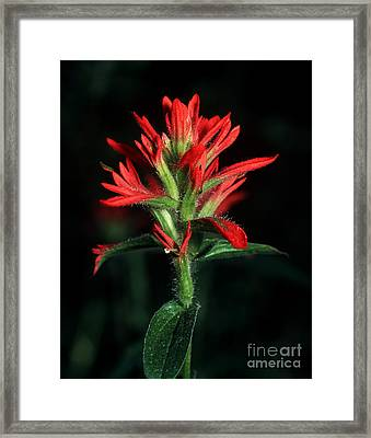 Banff - Indian Paintbrush 4 Framed Print