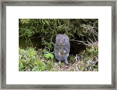 Framed Print featuring the photograph Bank Vole - Scottish Highlands by Karen Van Der Zijden