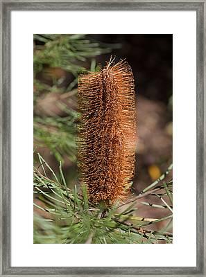 Banksia Framed Print