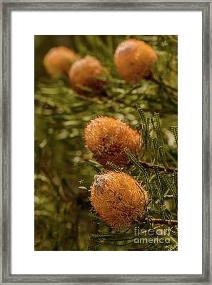 Framed Print featuring the photograph Banksia by Werner Padarin