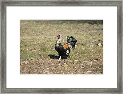 Banty Strut Framed Print