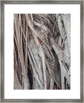 Banyan In Maui Framed Print