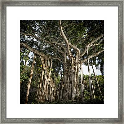 Framed Print featuring the photograph Banyan Tree At Bonnet House by Belinda Greb