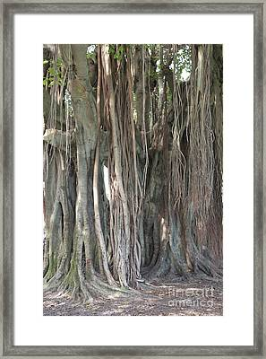 Banyan Tree Framed Print by Carol Groenen