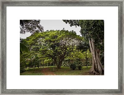 Banyon Monkeypod Landscape II Framed Print by Sharin Gabl
