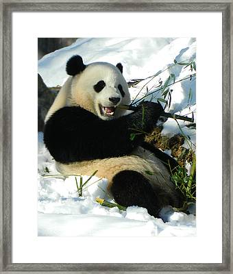 Bao Bao Sittin' In The Snow Taking A Bite Out Of Bamboo2 Framed Print