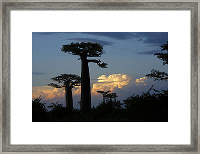 Baobabs And Storm Clouds Framed Print