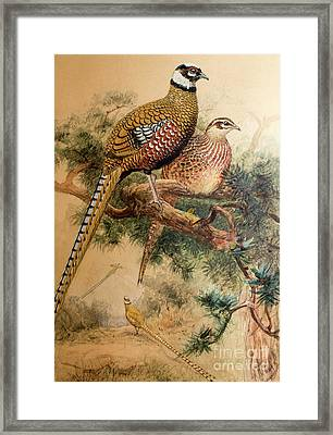 Bar-tailed Pheasant Framed Print by Joseph Wolf