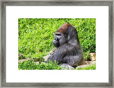 Baraka - Western Lowalnd Silverback Gorilla Framed Print