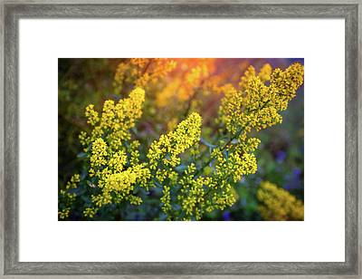 Barbarea Vulgaris - Yellow Rocket  Garden Flower Framed Print