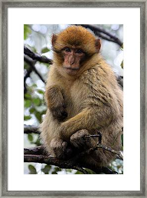 Framed Print featuring the photograph Barbary Ape by Ramona Johnston