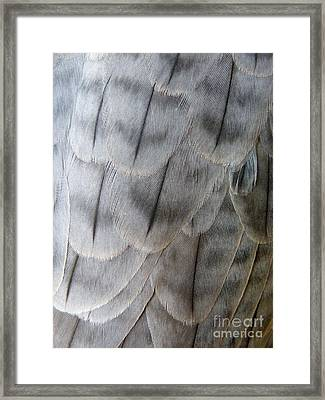 Barbary Falcon Feathers Framed Print by Lainie Wrightson