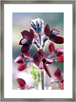 Barbed Thermopsis Or Black Pea Framed Print